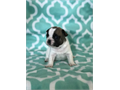 AKC French Bulldog Puppies 1 Year Health Guarantee UTD on shorts and deworming Fawn and Fawn Pied