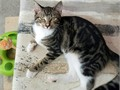 Toby is a pretty Mitted  Marble Tabby 1Y Neutered Male spunky sweet playful rescue kitty SWFL