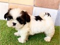 shih tzu puppies9 weeks old shih tzu Up to date on Vaccinations and dewormed - Health Record wil