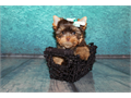 Floyd akc chocolate yorkie baby comes from a litter of 2 puppiesalso have his sister parti yorkie a