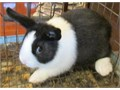 Purebred Dutch bunnies available 3 males black and white 6 weeks old Dutch are great pets Very