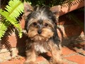 Our sweetheart little girl is named Piper DOB 2-14-17 Yorkshire Terrier Female Puppy Shes AKC