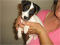 I have high quality purebred Jack Russell puppies available right now These pups will mature under