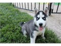 Beautiful Siberian husky puppies male female blackwhiteblue eyes fluffy fur shots and deworme