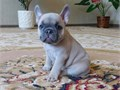I have French Bulldog Puppies ready to go 12 weeks old looking for new loving h