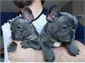 French Bulldog Available they are Akc registered vet check chipped and vaccinate
