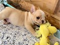 French Bulldog  puppies ready calltext me at 415-275-1682 Available for ship out any location Seri