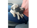 Beautiful PUG male is gorgeousUp to date on all vet carevaccinations dewormings The puppy leave