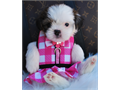 Shih Tzu Puppies for sale we have a beautiful litter of three Shih Tzu pups available they are 8 w