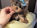 Your lovely Male and Female Yorkie Puppies ready to go  AKC registered purebred