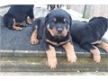 Both male and female Rottweiler puppies available for sales puppies are well socialized with kids an