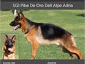 German Shepherd Super young Stud available Pibe is a top import who has came in first place in al