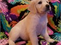 AKC Reg English Cream Golden Retriever Puppies We currently have 4 males  3 females available 100