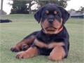 AKC registered German Rottweiler puppies parents on premises 25 years experience raising Rottweile