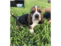 talented Basset Hound puppies availableThese puppies akc registered  vet checked and will come wit