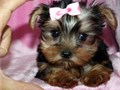 Yorkshire Terrier puppies ready for adoptionCall Number 4106350663