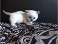 2 female 2 male available All kittens come with a 1 year health guarantee first shots dewormed a