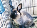 Need to find a home for this beautiful Lionhead bunny He is perfectly healthy and loves to be in th
