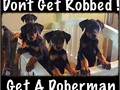 Our puppies come with current vaccines  deworming docked tails Sold as Pets for 600 eachSER