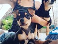 Cute and lovely Dwarf Pinscher Puppies for sale to lovely and togetherness family they are well tra