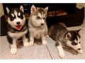 Pure Blue eyes Siberian Husky PuppiesChildren friendly1st vaccination  MicrochipEmail directly
