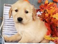 Magnificent puppies with outstanding personalitiesthey are well trained and well socialized with ev