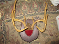 beautifully mounted 18 deer rack 8000 310-645-9708