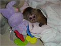 Charming Male and Female Capuchin Monkeys Ready for Adoption and to Good Homes We are giving out ou