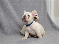 Male and female blue french bulldog puppies they are 11 weeks old vet checked dewormed and has ta