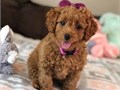 Mini Goldendoodle PupsMFs10wks Shots UTD with papersFor instant feedbackTextCall 562 294-39