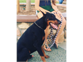 AKC registered European doberman for stud comes from working and showlines is 2 years old contact fo