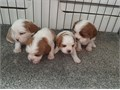 our puppies are one of a kindThey love to play and willsmother you with lots of hugs and kisses