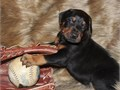 I have four beautiful Doberman puppies for sale they carry the colored gene they
