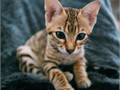 Healthy TICA Male and females Savannah kittens available and ready for new homes  Very active  play
