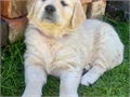 have lovely personalities and are very playful Puppies will be microchipped and up to date with v