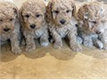 beautiful litter of 3 boys and 2 girls from my gorgeous apricot toy poodle who has a great temperame