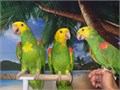 Beautiful Tame  Talking Tres Maria Double Yellow Headed Amazon Parrots for 2800 each Now Shipping