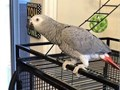 African grey parrot male and female for sale comes with cage tamed steps up love