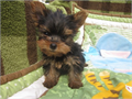Goldies Yorkies for Sale Yorkshire Terrie check our website httpyorkiepups4salecomindexhtml
