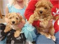 Maltipoo Pups ready now4 girl maltipoo puppysThey have been to the vet to have their health