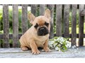 Cute French Bulldog puppies They are family raised with the best of care and are socialized with ch