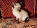 Siamese Male FemaleFor more information TEXT us at 872 704 0193