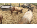 Pigs   Breeder or feeder Durochampshire crossGilts and boars   Nice pigs Or 1-509-632-5884 200