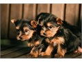 Purebred tiny teacup Yorkie puppies Have you been thinking about a new puppy for yourself or your f