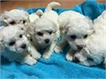 Toy size Bichon Frise puppies available for rehomingRaised underfoot in our home Well socialized w