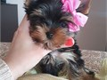 Healthy and adorable Yorkie puppies available They are one female and one male and will be the per