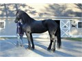 Ricky is a purebred Friesian stallion charismatic elegant and very tall an eye-catcher His movem