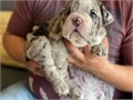 AKC registered Merle English Bulldog puppy is available for new home with vaccines done and dewormed