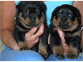12 weeks old Rottweiler puppies ready for adoption The puppies have been raised in a very calm envi