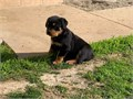 We have available a beautiful litter of Purebred German Rottweiler puppies